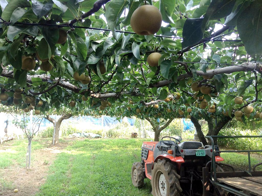 梨畑は収穫しやすいよう背の高さに枝が揃えられている