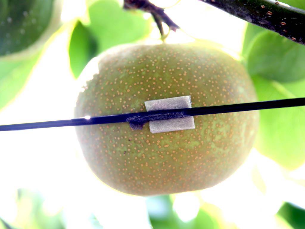 丹精込めて育まれる千葉の梨