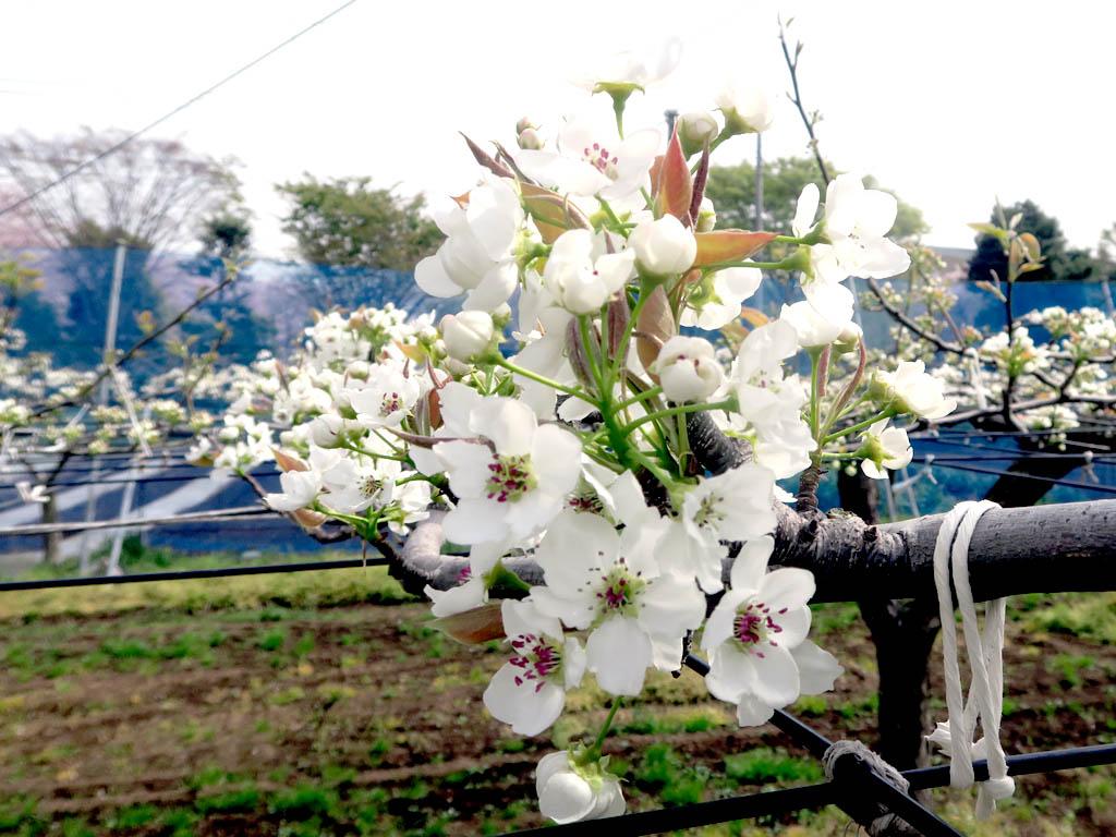 実はとても美しい梨の花 桜と同時期に咲く