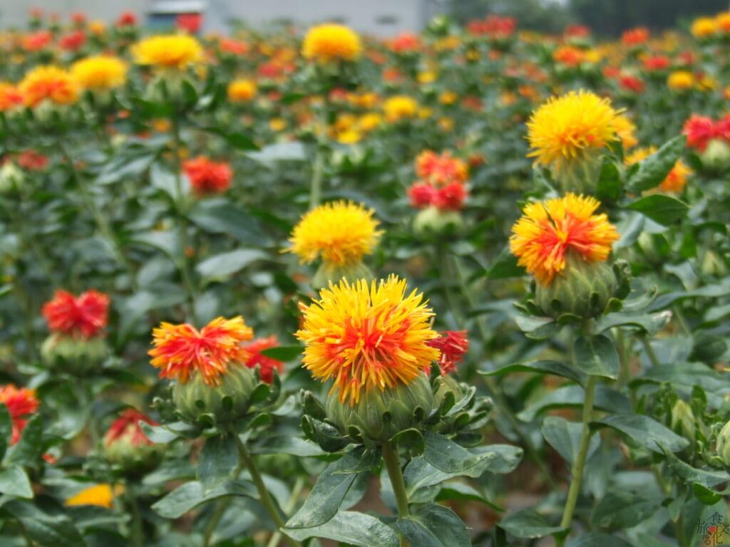 紅色と黄色が鮮やかなべに花