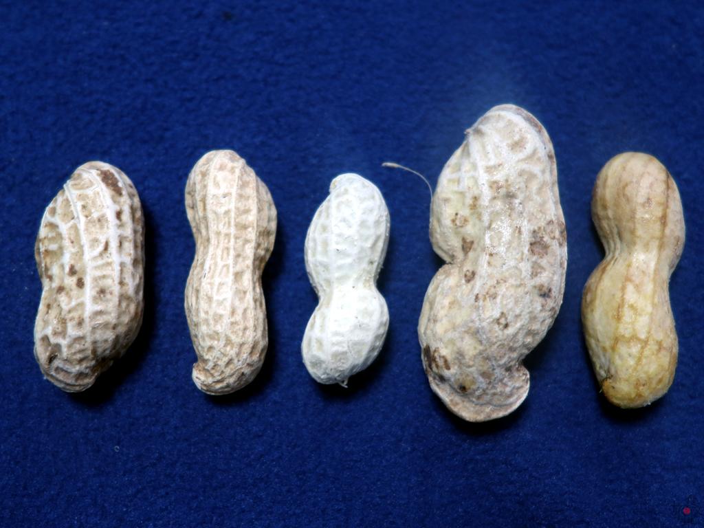 (左から)千葉半立、ナカテユタカ(煎り豆)、郷の香、おおまさり、Qなっつ